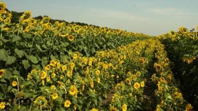 Названы области Украины с самыми плодовитыми полями