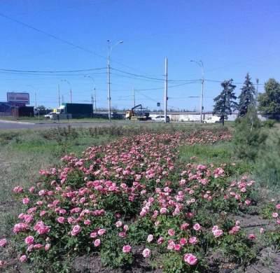 Подольский район Киева украсили розами