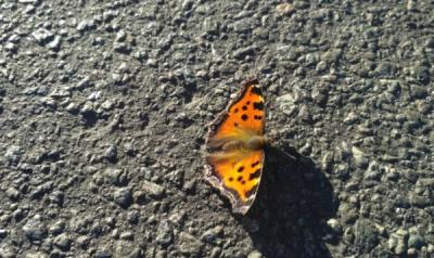 Нашествие бабочек в Киеве: эколог назвал причину