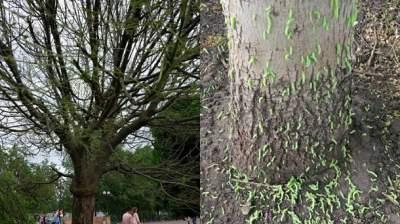 В Киеве на деревьях появилось огромное количество зеленых гусениц