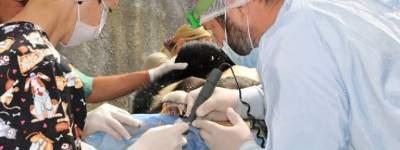 В Киевском зоопарке гималайским медведям лечили зубы и сделали маникюр