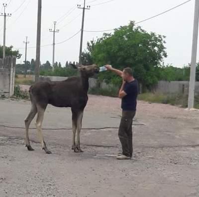 На Киевщине лось разгуливал посреди села