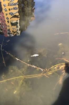 В киевском озере массово гибнут животные