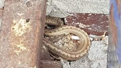 В Киеве видели редкую ядовитую змею