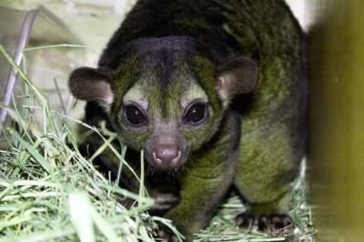 В зоопарке Киева родился экзотический зверек