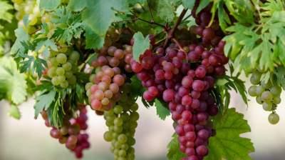 Медики объяснили, почему желательно регулярно есть виноград